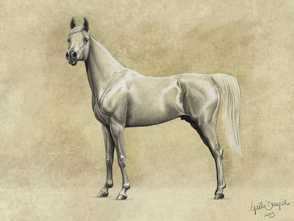 illustration phénotype lignée Abeyyan