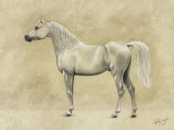 illustration phénotype lignée Kuhaylan