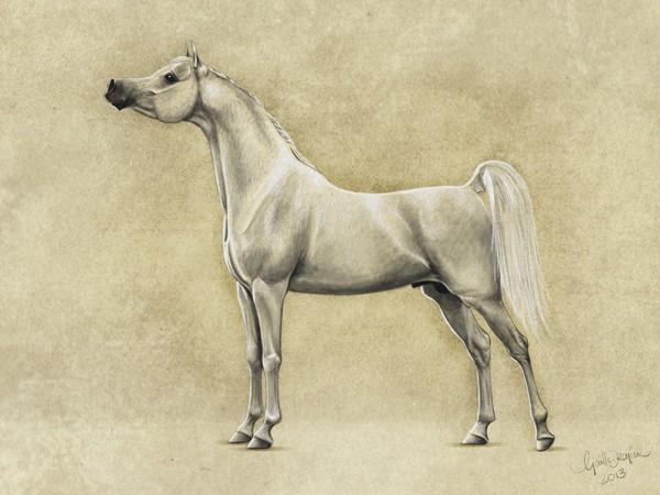 illustration of the Saqlawi strain phenotype